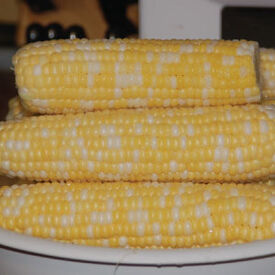 Butter and Sugar, (F1) Corn Seed