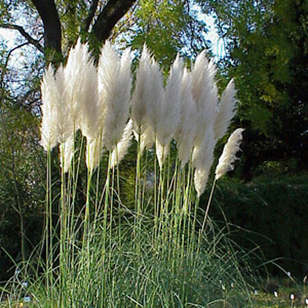 Pampas, Ornamental Grass Seeds - Packet image number null