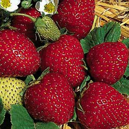 Fresca, Strawberry Seeds - Packet image number null
