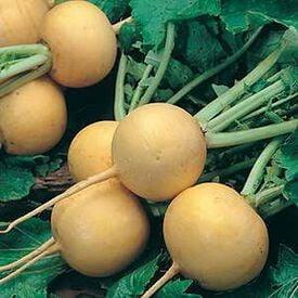 Golden Ball, Turnip Seeds
