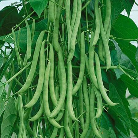 Kentucky Wonder, Bean Seeds - Packet (1 oz.) image number null