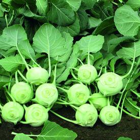 Konan, Kohlrabi Seeds