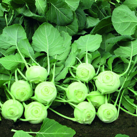 Konan, Kohlrabi Seeds - Packet image number null