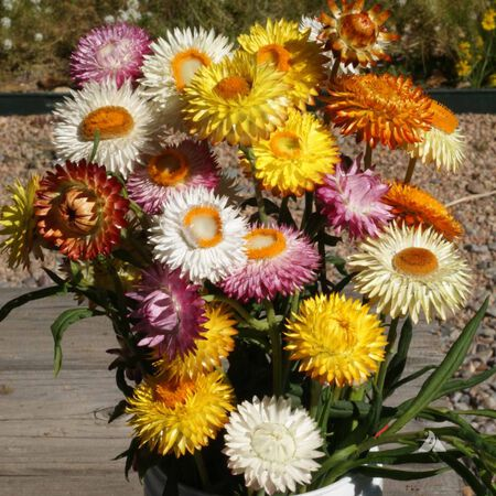 Everlasting Flowers, Wildflower Seed - 1 Ounce image number null