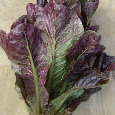 Red Romaine, Lettuce Seeds - Packet image number null