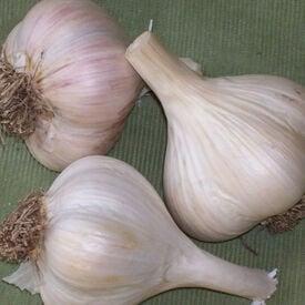 Georgian Crystal, Garlic Seed