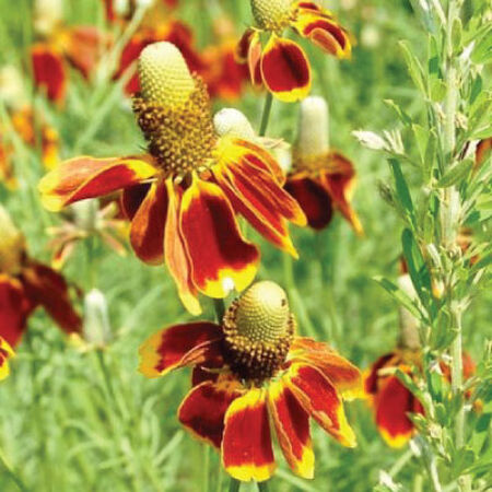 Mexican Hat, Ratibida Seeds - Packet image number null