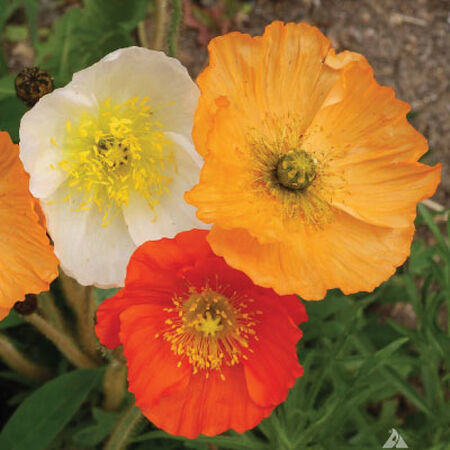 Iceland, Poppy Seeds - Packet image number null