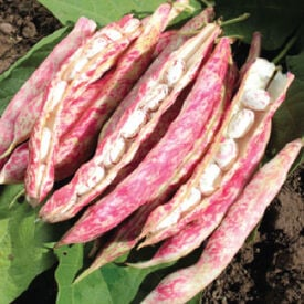 Tongue of Fire, Bean Seeds