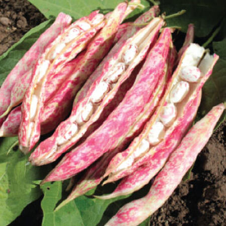 Tongue of Fire, Bean Seeds image number null
