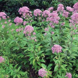 Joe Pye Weed, Eutrochium Seeds