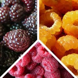 Collection Mix, Raspberry Plants