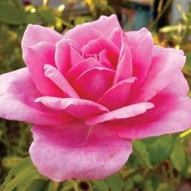Pink Bush, Rose Seeds