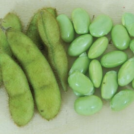 Envy, Bean Seeds