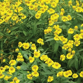 Sneezeweed, Helenium Seeds