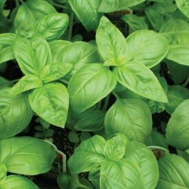 Genovese, Basil Seeds