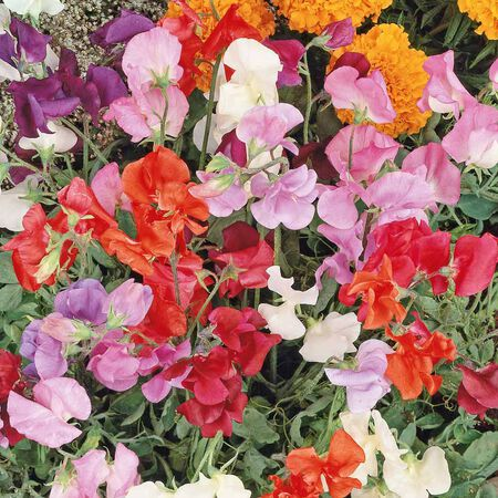 Knee High, Sweet Pea Seeds - Packet image number null