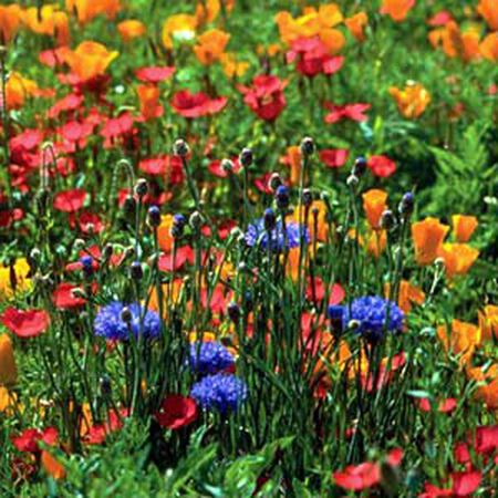 North American Blend, Wildflower Seed - 1 Ounce image number null
