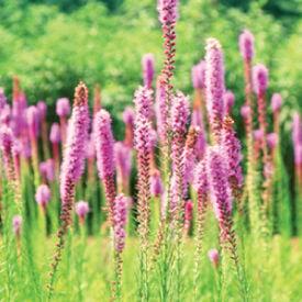 Prairie Blazing Star, Liatris Seeds