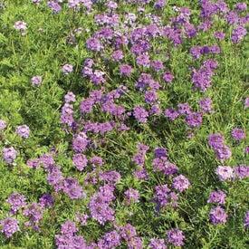 Purple Moss, Verbena Seeds