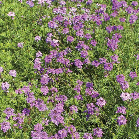 Purple Moss, Verbena Seeds - Packet image number null