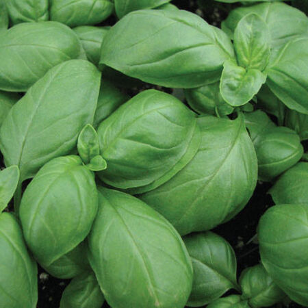 Aroma 2, Organic Basil Seeds - Packet image number null