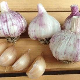 Georgian Fire, Garlic Seed