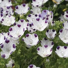Five Spot, Nemophila Seeds