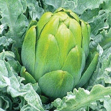Imperial Star, Artichoke Seeds - Packet image number null