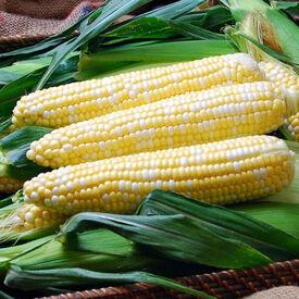 Solstice, (F1) Corn Seed