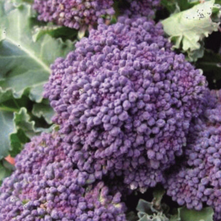 Early Purple Sprouting, Broccoli Seeds - Packet image number null