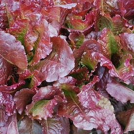 Outredegeous, Lettuce Seeds
