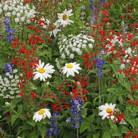Red White & Blue, Wildflower Seed - 1 Ounce image number null