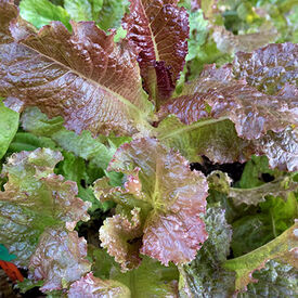 Red Velvet, Lettuce Seeds