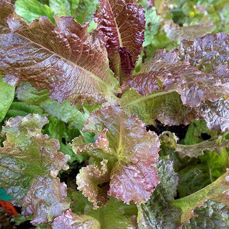 Red Velvet, Lettuce Seeds - Packet image number null