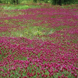 Medium Red Clover, Legumes