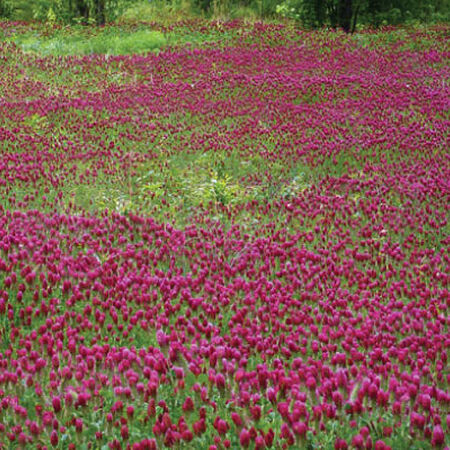 Medium Red Clover, Legumes - 1 Pound image number null
