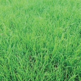 Annual Ryegrass, Grasses