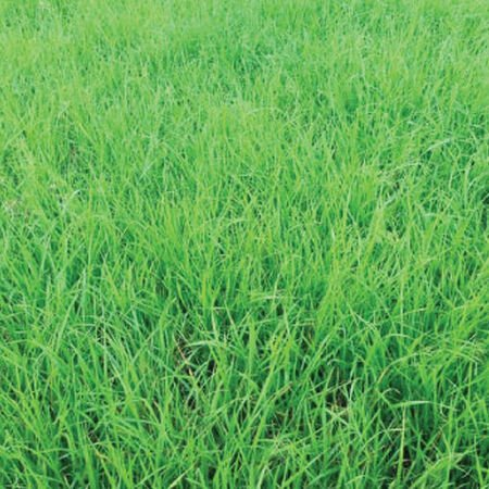 Annual Ryegrass, Grasses - 1 Pound image number null