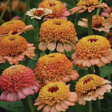 Zinderella Peach, Zinnia Seeds image number null
