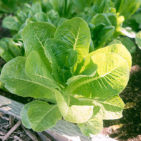 Little Caesar, Lettuce Seeds - Packet image number null