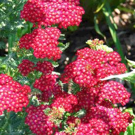 Red Shades, Achillea (Yarrow)