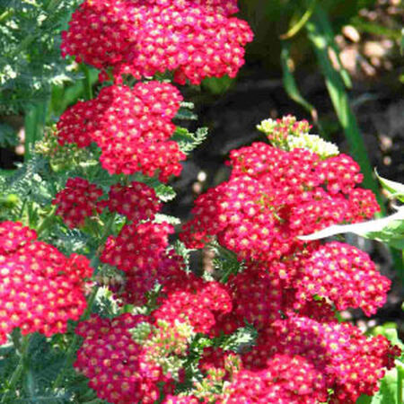 Red Shades, Achillea (Yarrow) - Packet image number null