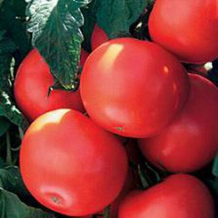 Park's Beefy Boy, (F1) Tomato Seeds image number null