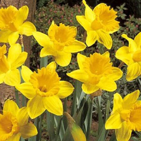 Dutch Master, Daffodil Bulbs image number null
