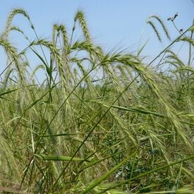 Mandan Wildrye Grass, Grains