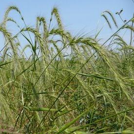 Mandan Wildrye Grass, Grains
