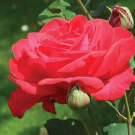 Red Bush, Rose Seeds