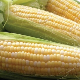 Double Standard, Organic Corn Seed