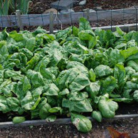 Olympia, (F1) Spinach Seeds image number null